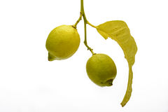 Branch and two Lemons Royalty Free Stock Photos