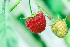 Branch with two raspberries Stock Photo