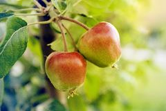 Branch with two ripe apples royalty free stock image