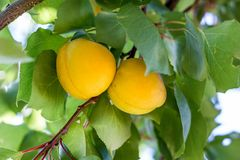 Ripe apricots. Branch with two ripe orange apricots Royalty Free Stock Photos