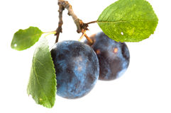Branch with two ripe plums Royalty Free Stock Photography
