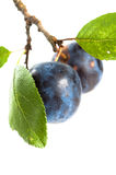 Branch with two ripe plums Stock Photos