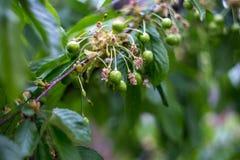 Branch of an unripe cherry.  Stock Photos