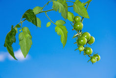 Branch of unripe cherry tomatoes against blue sky. Stock Photo