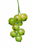 A branch of unripe red currant. Isolated Stock Images