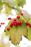 Branch of viburnum. In autumn Royalty Free Stock Images