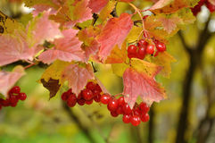 Branch of viburnum Stock Images