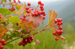 Branch of viburnum Royalty Free Stock Photos