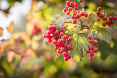 Branch of viburnum berries Royalty Free Stock Images