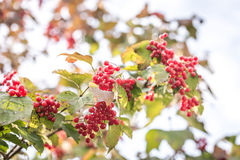 Branch of viburnum berries Royalty Free Stock Photos