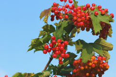 Branch with Viburnum Berries and blue sky background Stock Images