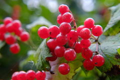 Branch of viburnum with berries Royalty Free Stock Photos