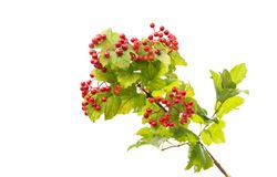 A branch of a viburnum Stock Photo