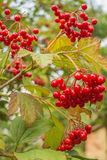 The branch of viburnum. At the branch grow clusters of red berries Viburnum Royalty Free Stock Image
