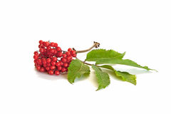 Branch of viburnum isolated on a white Royalty Free Stock Image