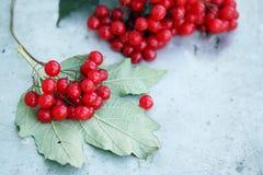 Branch viburnum Royalty Free Stock Photo