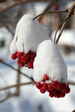 Branch of the viburnum in snow. Solar,winter day Royalty Free Stock Image