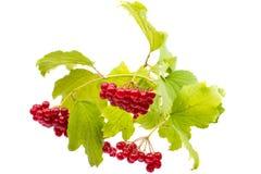 Branch of viburnum Stock Photography