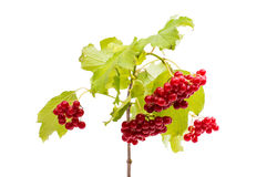Branch of viburnum Royalty Free Stock Images