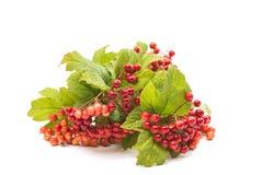 Branch of viburnum Stock Images