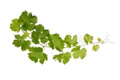 Branch of vine leaves isolated. On white background royalty free stock photo