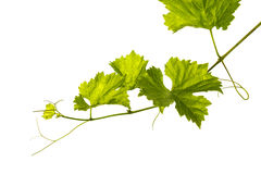 Branch of vine leaves Stock Image
