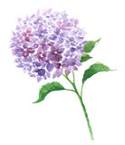 Branch of violet hydrangea Royalty Free Stock Photography