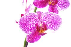 Branch of violet orchid Royalty Free Stock Photo