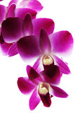 Branch of violet orchids Stock Image