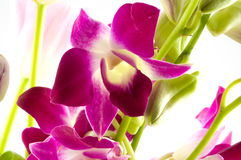 Branch of violet orchids Royalty Free Stock Images