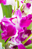 Branch of violet orchids Stock Photos