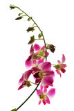 Branch of violet orchids isolated. On white stock image