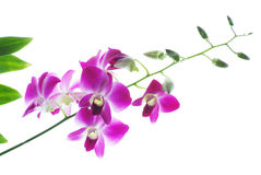 Branch of violet orchids isolated on white. Background Stock Photo