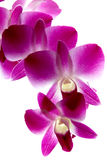 Branch of violet orchids isolated on white. Background royalty free stock images
