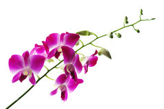 Branch of violet orchids isolated on white. Background royalty free stock image