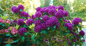 A branch of violet Rhododendron flowers Stock Photos