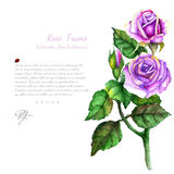 Branch of violet rose with leaves on white background Stock Photo