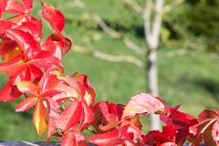 Branch of virginia creeper parthenocissus quinquefolia. Branch of virginia creeper in autumn parthenocissus quinquefolia Stock Images