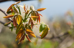 Branch of walnut Stock Photos