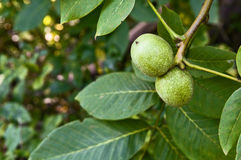 Branch of walnut in the garden close up Stock Photo