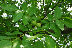 Branch of walnut Stock Images