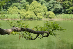 The branch was inclined over a surface of the forest lake Stock Images
