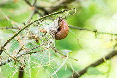 Branch in the web of a larva pest Stock Images