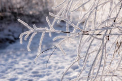 Branch of weeping willow covered by snow and frost in winter Royalty Free Stock Images