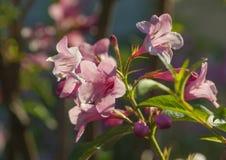 Branch of weigela blossom Stock Photos