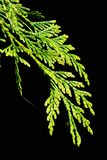 Branch of Western Redcedar Thuja Plicata on dark background with small green spider on bottom. Of the branch, climbing up Royalty Free Stock Photography