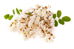 Branch of white acacia flowers isolated on white royalty free stock photo