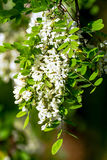 Robinia Stock Photos