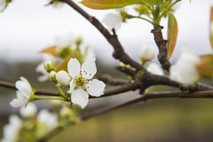 Branch with white apple blossom on a fruit tree  Royalty Free Stock Photography