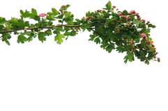 Branch on a white background Royalty Free Stock Photo